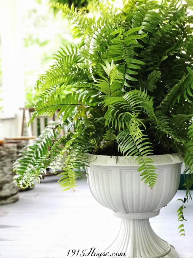 Ferns make outdoor spaces come alive and they're so easy to care for.