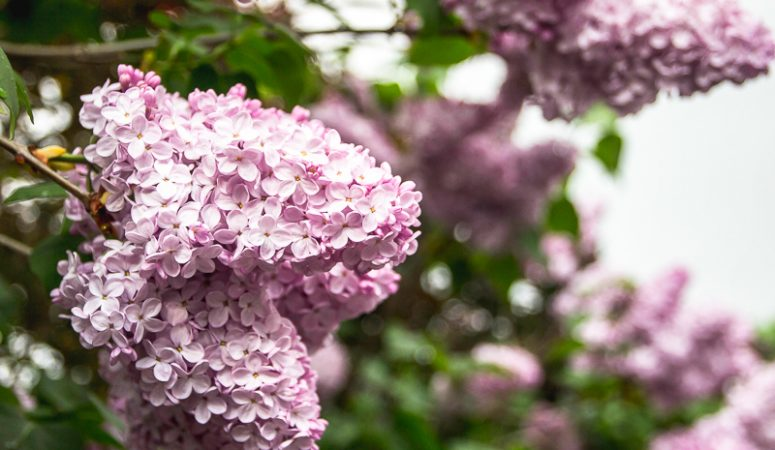 How to keep cut Lilacs fresher, longer